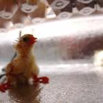 Chicky #4