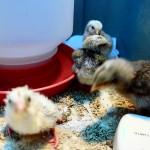 All 4 chicks!